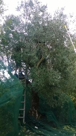 olive-070